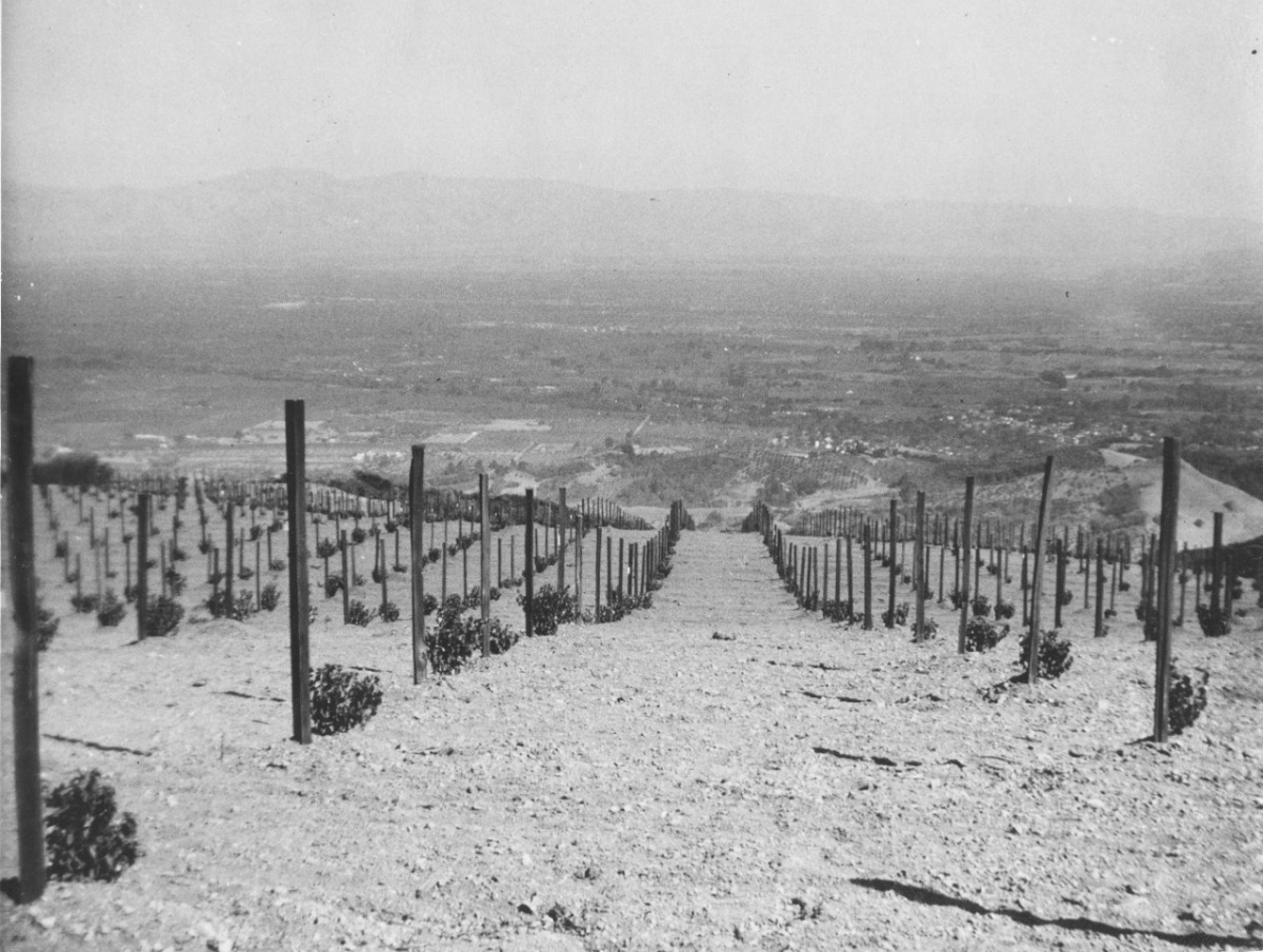 Saint George Rootstock-for the Pinot Noir- early 1940s-