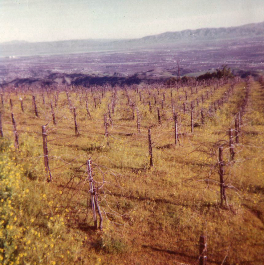 Pinot Noir vineyard - late 1960s