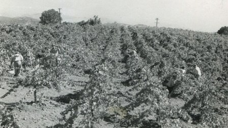 Young Pinot Vineyard 1950s